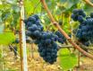 勃艮第的葡萄以及葡萄酒分类