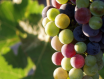 西斯寇特——澳洲葡萄酒产区