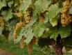 除草剂在葡萄园中的应用发展