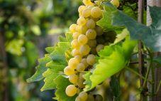 酿酒葡萄品种:玛珊(Marsanne)