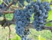 滨海沿岸葡萄酒产区