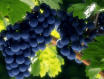 哪种葡萄酒适合情侣约会时适合喝