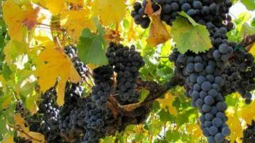 赤霞珠酿造的意大利葡萄酒,不同风味的兰第尼彼尔维干红葡萄酒