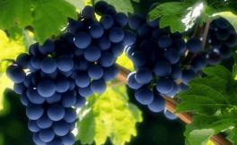 红葡萄的种类有哪些呢?