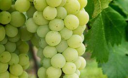 白葡萄品种有哪些呢?