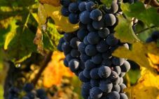新西兰葡萄酒品种有哪些呢?