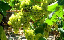 法国十大白葡萄品种有哪些我们了解多少呢?