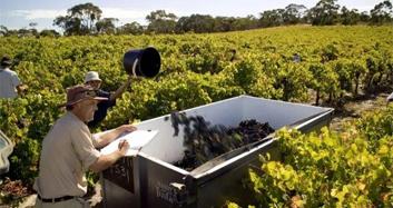 微酒客诚邀加盟|葡萄酒大国那么多,国人为何偏爱澳大利亚?