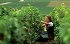 意大利葡萄采摘季将产生2.5万个临时工作岗位