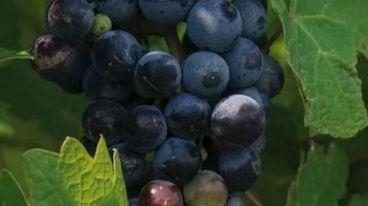 智利赤霞珠近年来为何更受市场的欢迎 | 逸伦葡萄酒