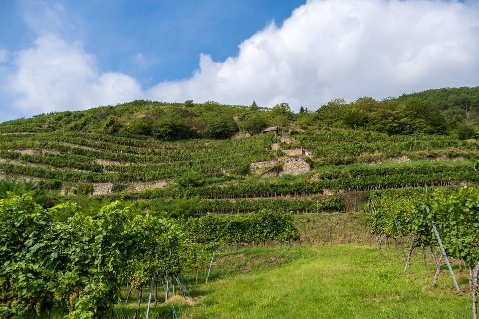 葡萄味道与葡萄酒口感之间有哪些秘密