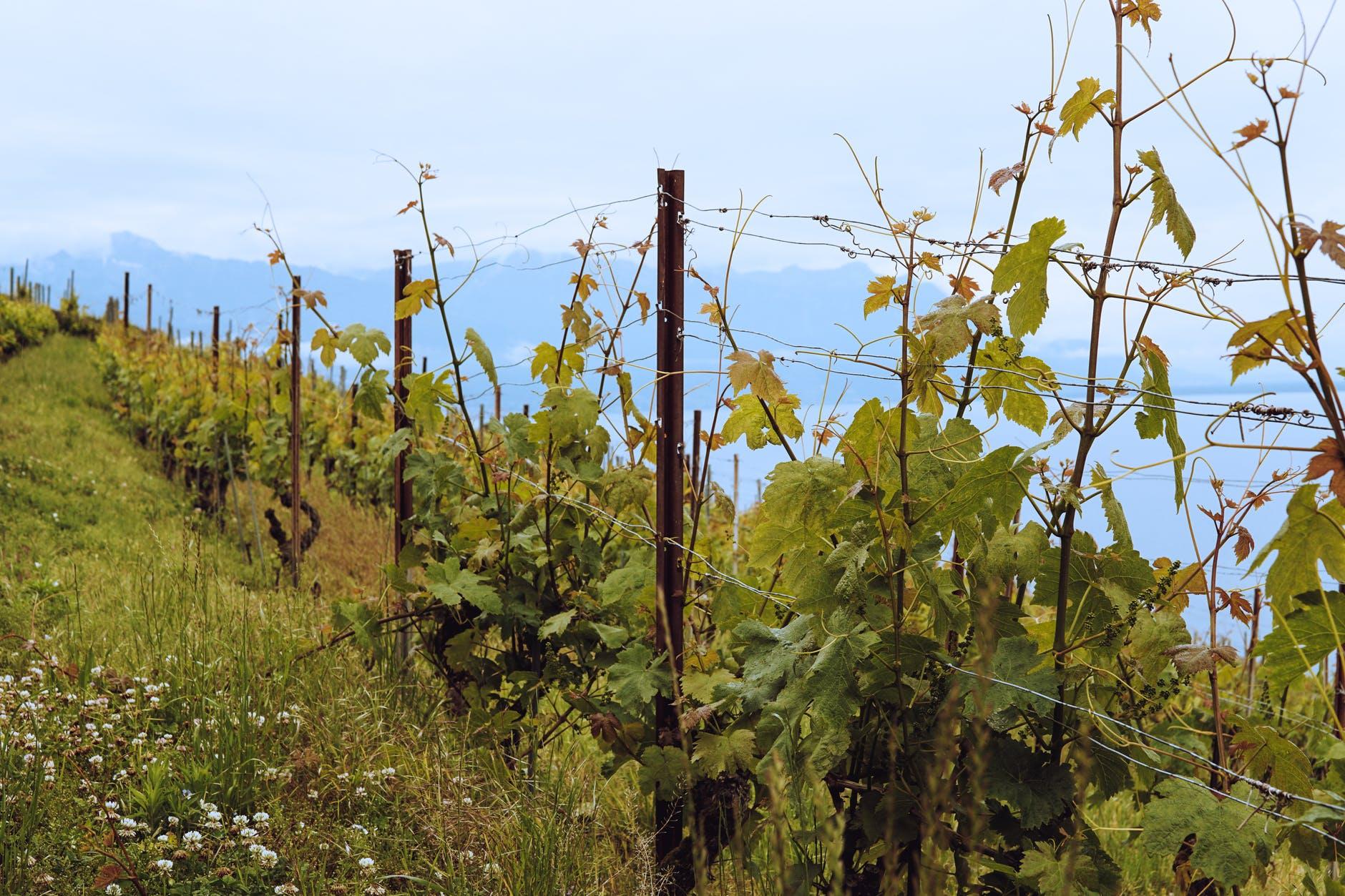 你们是否了解过葡萄品种之梅鹿辄呢?