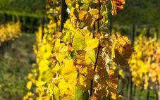 丹麦葡萄酒产区