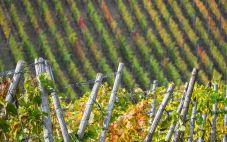 萨瓦葡萄酒