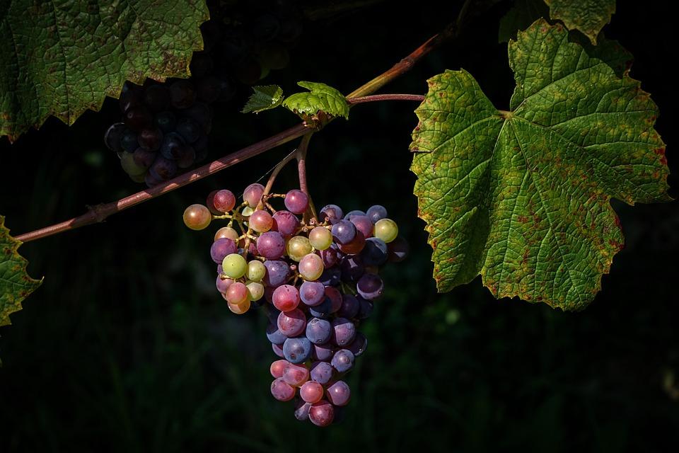 甘肃产地优质葡萄产区,你去过吗?